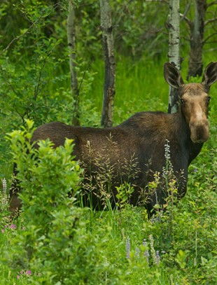 Mother and Calf Moose - Opportunities for Nature Photography Abound